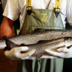Genetically Engineered Salmon May Be Coming to Stores