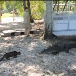 Video: Cat Goes Up Against Alligator… Who Wins?