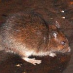 Rats Could be Displaced by Hurricane Sandy and Spread Infectious Diseases