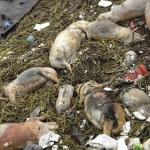 Thousands of Dead Pigs Found in Shanghai River Threaten Water Supply