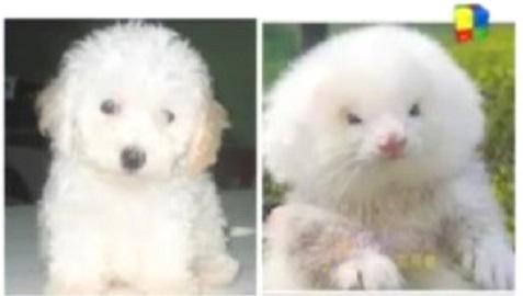 poodle or ferret
