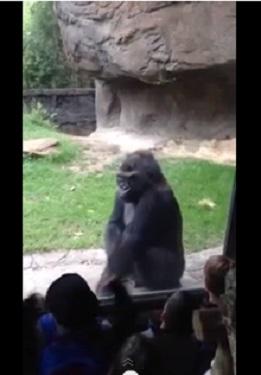 gorilla gets revenge
