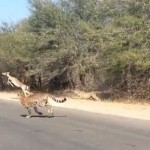 South Africa Park Visitor Captures Antelope Eluding Cheetas (Watch!)