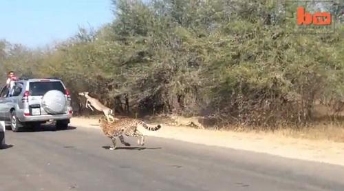 impala eludes cheetahs