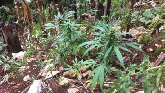 marijuana plants in jamaica