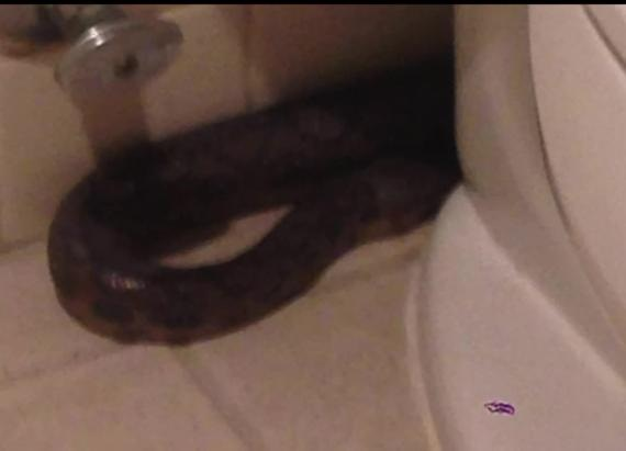 Snake found in office toilet