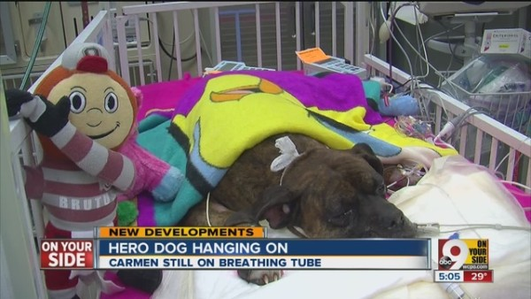 """""""Carmen"""" is surrounded by love as she fights for her life after an unsuccessful attempt to save her owners' life."""