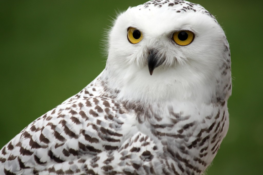snowy-owl-wallpapers
