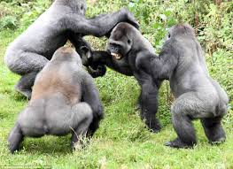 apes fighting 1