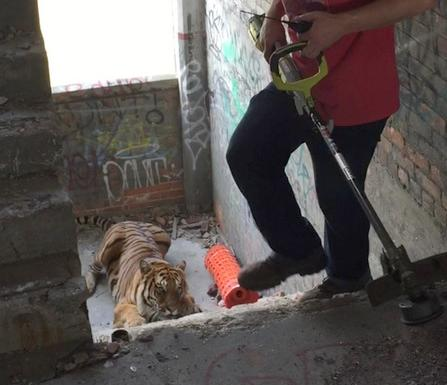 tiger & weed whacker
