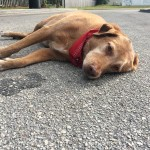 Dog Refuses to Leave Owner's Side, After She was Killed by Hit-N-Run Driver