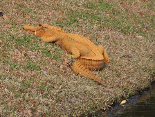 Alligator, orange