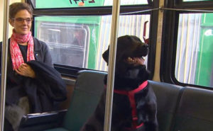 This Beautiful Labrador Rides the Bus to the Park — Alone — Every Day (Watch)
