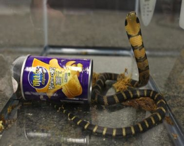 cobra smuggling-cobra-and-chips