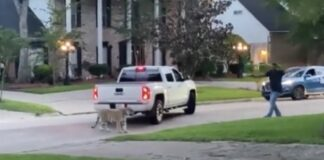 tiger loose in houston