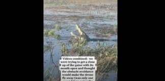 alligator eats drone